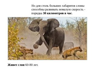 Но для столь больших габаритов слоны способны развивать немалую скорость - по