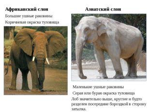 Африканский слон Большие ушные раковины Азиатский слон Маленькие ушные ракови