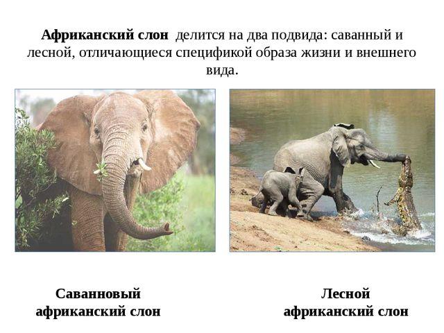 Саванновый африканский слон Африканский слон делится на два подвида: саванный...