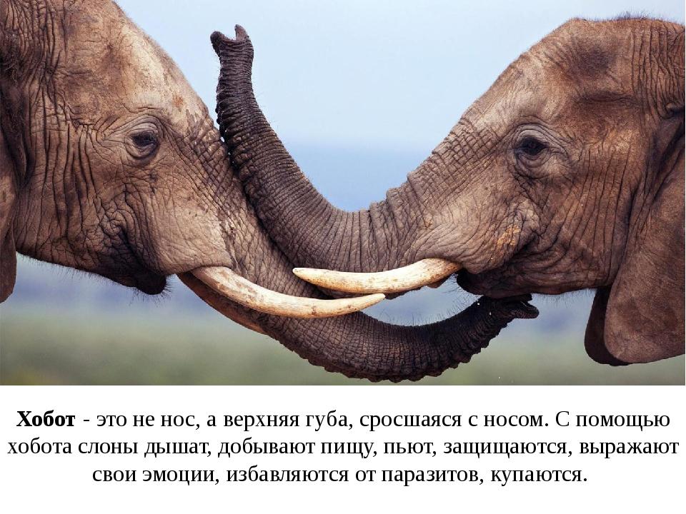 Хобот - это не нос, а верхняя губа, сросшаяся с носом. С помощью хобота слоны...