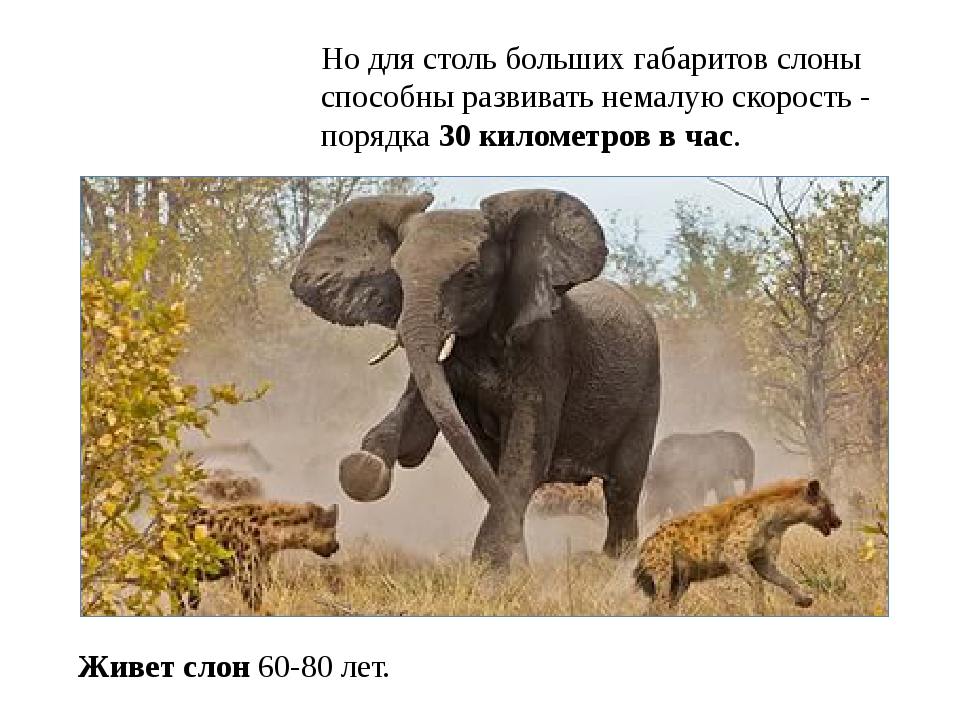Но для столь больших габаритов слоны способны развивать немалую скорость - по...