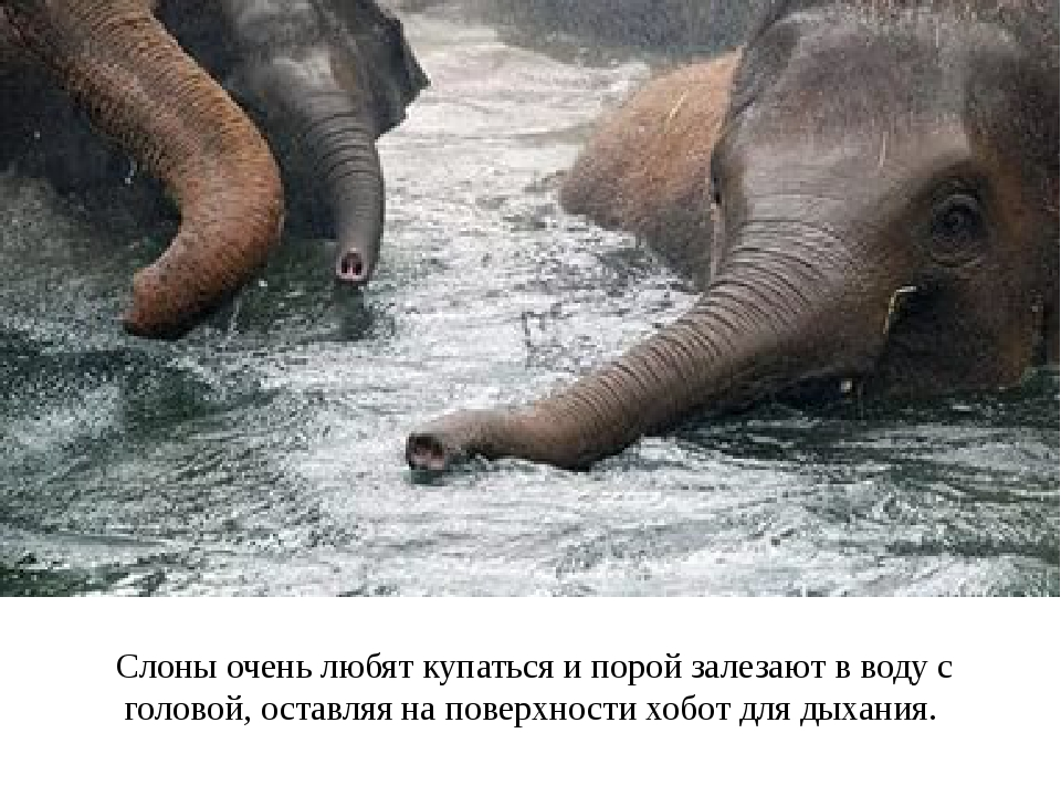 Слоны очень любят купаться и порой залезают в воду с головой, оставляя на пов...