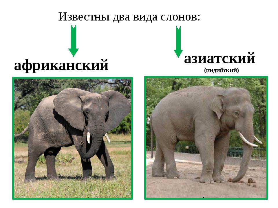 Известны два вида слонов: африканский азиатский (индийский)