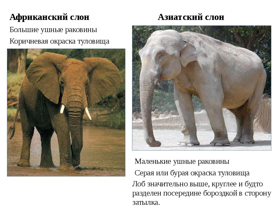 Африканский слон Большие ушные раковины Азиатский слон Маленькие ушные ракови...