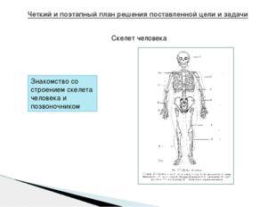 Четкий и поэтапный план решения поставленной цели и задачи Скелет человека Зн