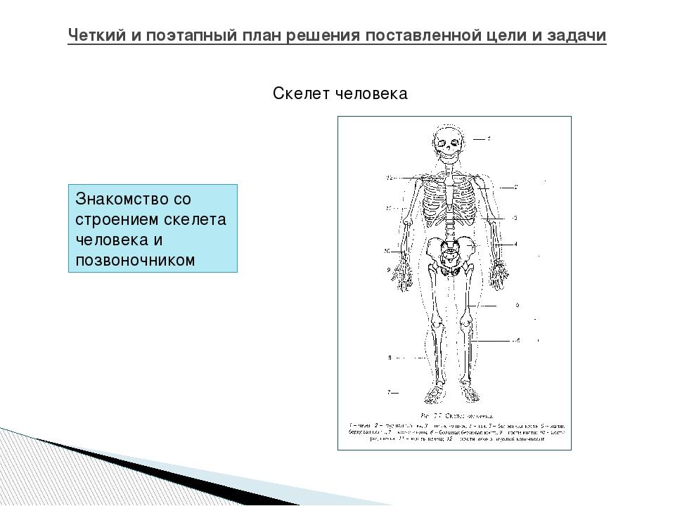 Четкий и поэтапный план решения поставленной цели и задачи Скелет человека Зн...