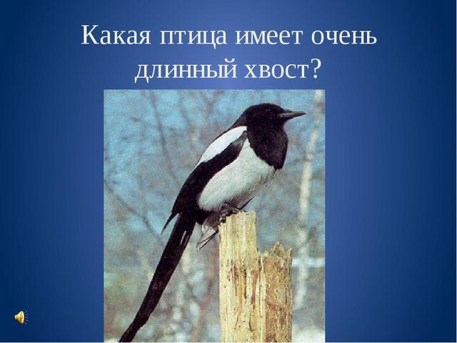 Какая птица имеет очень длинный хвост?