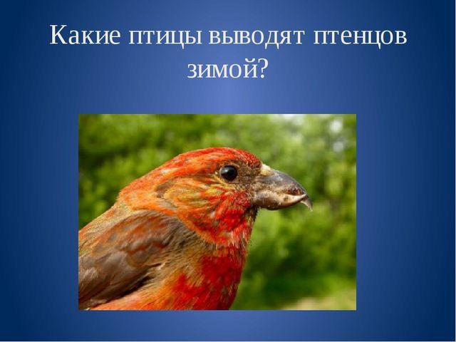 Какие птицы выводят птенцов зимой?