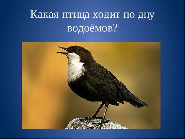 Какая птица ходит по дну водоёмов?