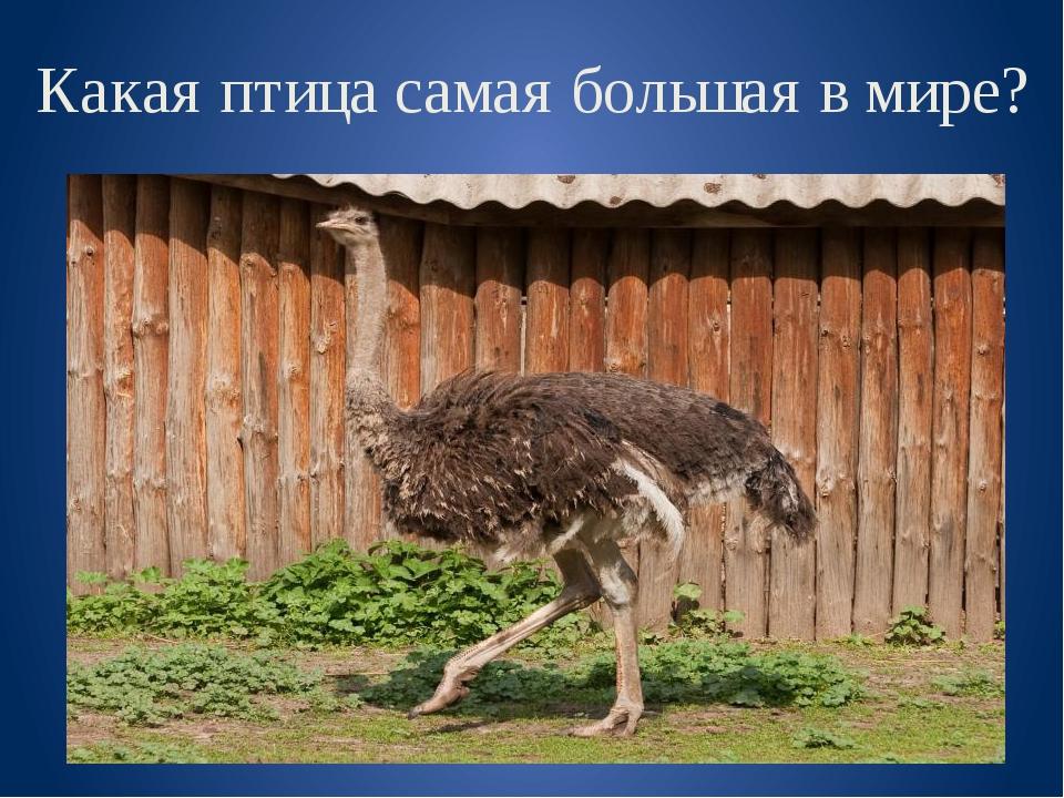 Какая птица самая большая в мире?