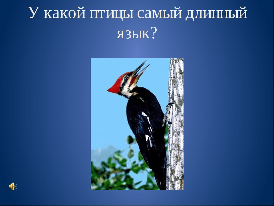 У какой птицы самый длинный язык?