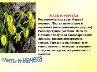 МАТЬ-И-МАЧЕХА Род многолетних трав. Ранний медонос. Листья используют в меди