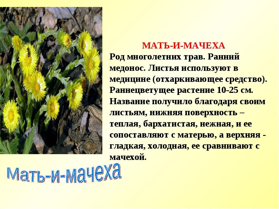 МАТЬ-И-МАЧЕХА Род многолетних трав. Ранний медонос. Листья используют в меди...