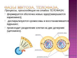 Процессы, происходящие на стадии ТЕЛОФАЗА: формируется оболочка новых ядер(за