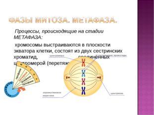 Процессы, происходящие на стадии МЕТАФАЗА: хромосомы выстраиваются в плоскос