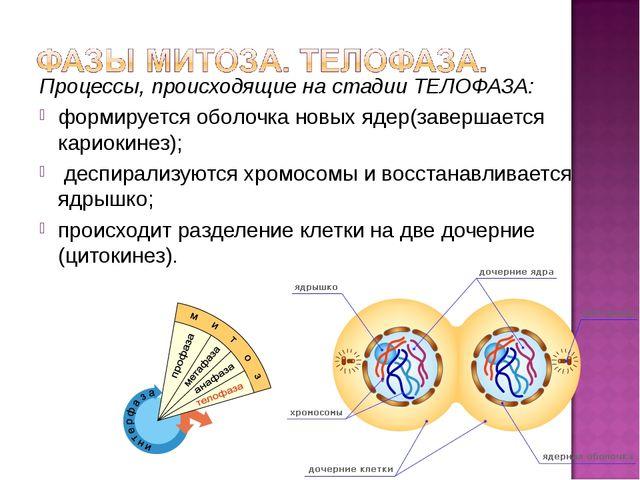 Процессы, происходящие на стадии ТЕЛОФАЗА: формируется оболочка новых ядер(за...