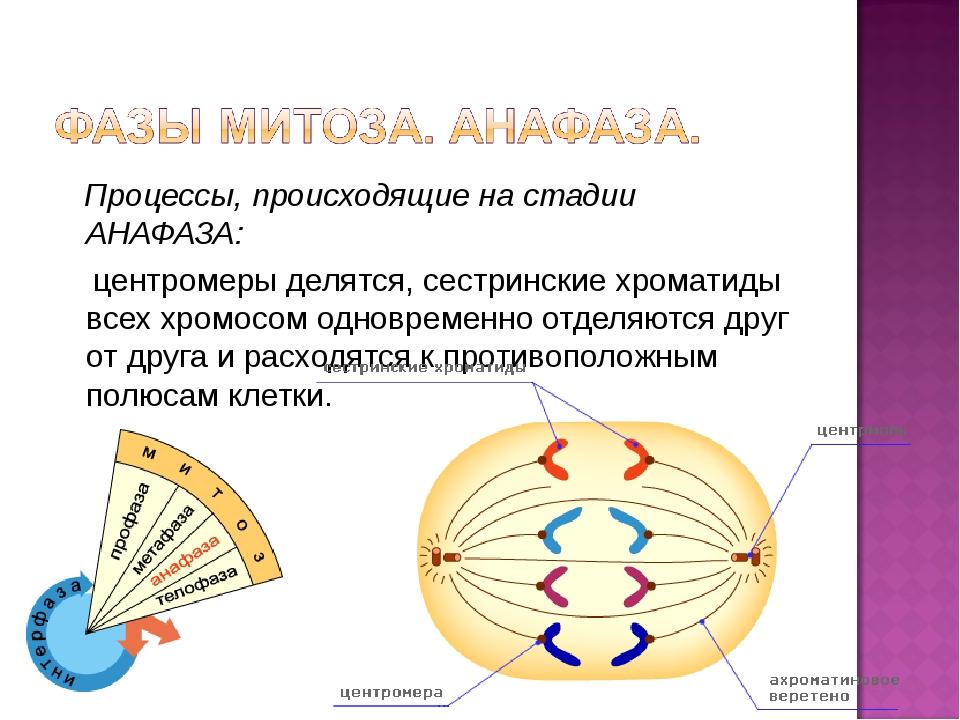 Процессы, происходящие на стадии АНАФАЗА: центромеры делятся, сестринские хр...