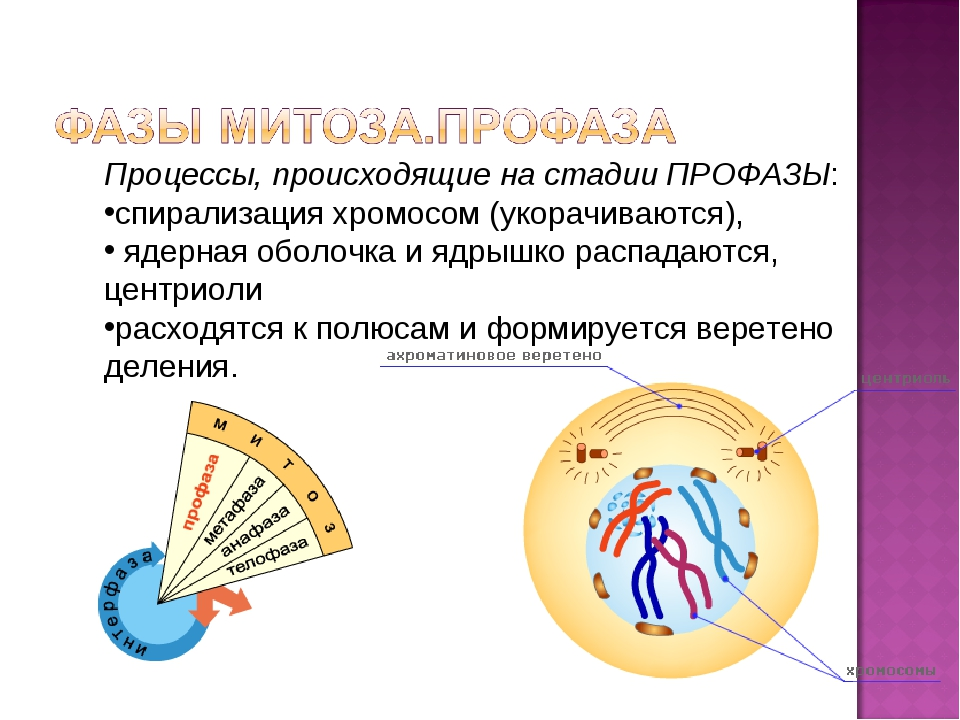 Процессы, происходящие на стадии ПРОФАЗЫ: спирализация хромосом (укорачиваютс...