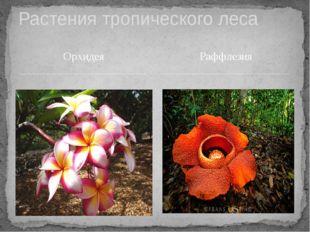 Орхидея Растения тропического леса Раффлезия