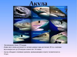 Акула Насчитывают более 370 видов Длина акул очень различается: мелкие донные