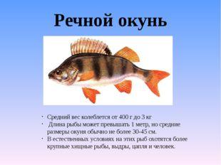 Речной окунь Средний вес колеблется от 400 г до 3 кг Длина рыбы может превыша