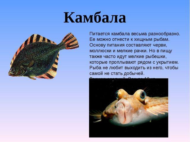 Камбала Питается камбала весьма разнообразно. Ее можно отнести к хищным рыбам...