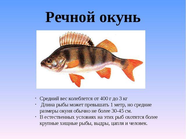 Речной окунь Средний вес колеблется от 400 г до 3 кг Длина рыбы может превыша...