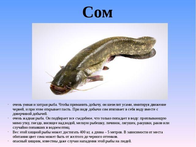 Сом очень умная и хитрая рыба. Чтобы приманить добычу, он шевелит усами, имит...