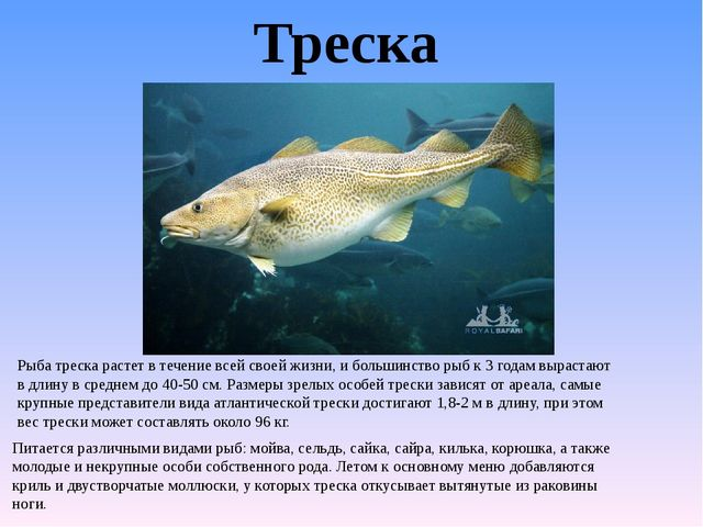 Треска Рыба треска растет в течение всей своей жизни, и большинство рыб к 3 г...