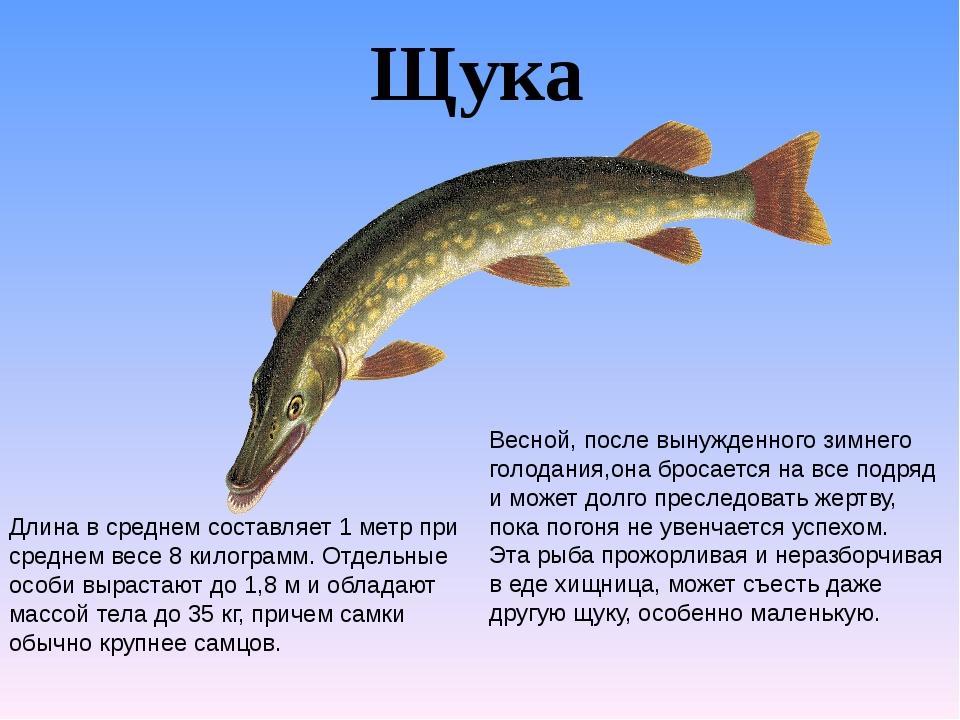 Щука Длина в среднем составляет 1 метр при среднем весе 8 килограмм. Отдельны...