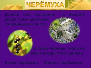 Дерево или кустарник с белыми душистыми цветками, собранными в кисти, а также