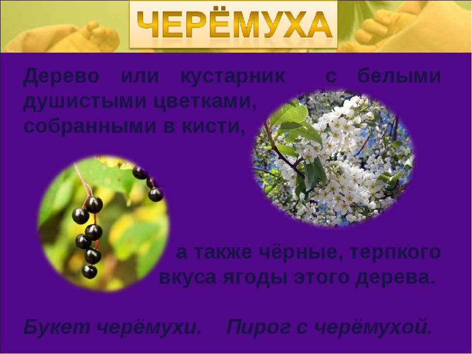 Дерево или кустарник с белыми душистыми цветками, собранными в кисти, а также...