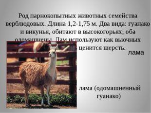 Род парнокопытных животных семейства верблюдовых. Длина 1,2-1,75 м. Два вида: