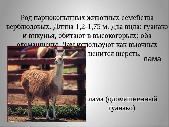 Род парнокопытных животных семейства верблюдовых. Длина 1,2-1,75 м. Два вида:...