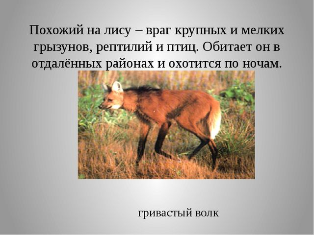 Похожий на лису – враг крупных и мелких грызунов, рептилий и птиц. Обитает он...