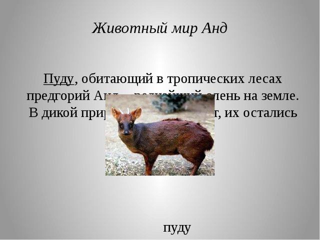 Пуду, обитающий в тропических лесах предгорий Анд, - редчайший олень на земле...