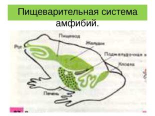 Пищеварительная система амфибий.