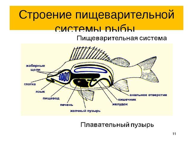 Строение пищеварительной системы рыбы.