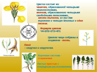 Цветок состоит из: чашечки, образованной четырьмя чашелистиками, венчика, обр