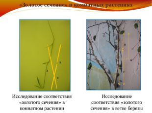 «Золотое сечение» в комнатных растениях а в с а в с Исследование соответствия
