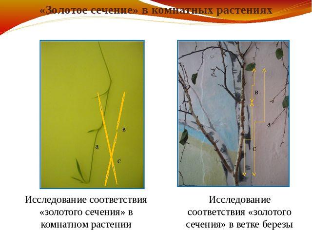 «Золотое сечение» в комнатных растениях а в с а в с Исследование соответствия...