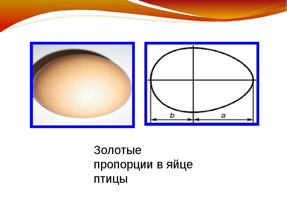 Золотые пропорции в яйце птицы