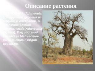 АДАНСОНИЯ (Adansonia L.) - крупные деревья из Африки и Австралии, в том числе