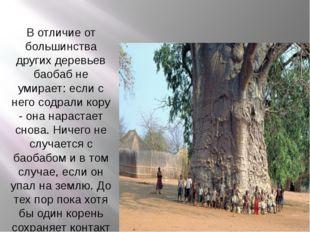 В отличие от большинства других деревьев баобаб не умирает: если с него содр