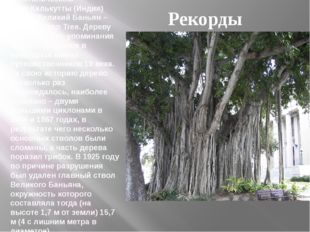 В Ботаническом садуКалькутты(Индия) растет Великий Баньян – Great Banyan Tr