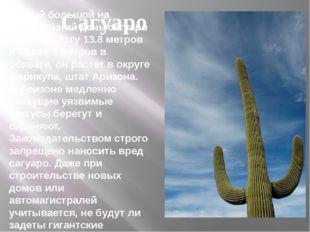 Самый большой на сегодняшний деньсагуаро имеетвысоту 13.8 метров и более 3
