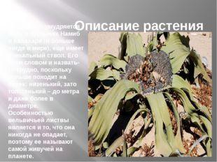 Описание растения Вельвичия умудряется житьв пустыняхНамиб и Калахари (и б