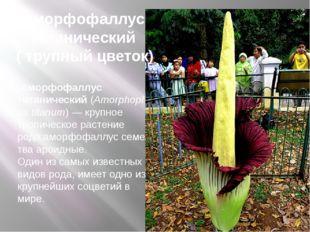 Аморфофаллус титанический(Amorphophallus titanum)— крупное тропическое ра