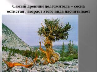 Самый древний долгожитель – сосна остистая , возраст этого вида насчитывает у