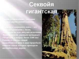 Секвоя вечнозелёная – это самое высокое дерево нашей планеты. Наши леса умере